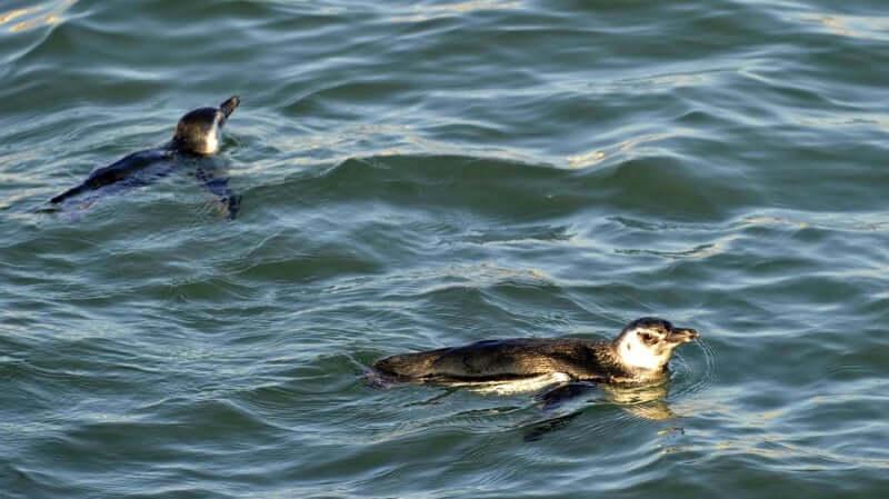 Praia da Lagoinha de Ponta das Canas em Florianópolis: Pinguins