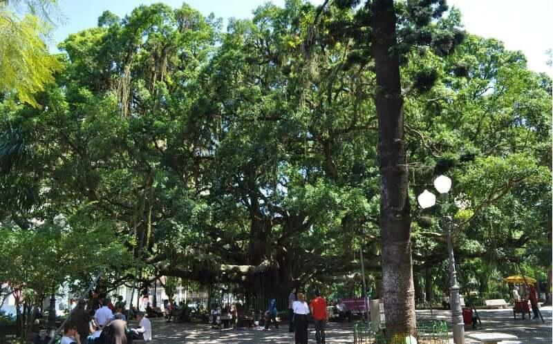 Mapa Turístico de Florianópolis: Figueira Centenária