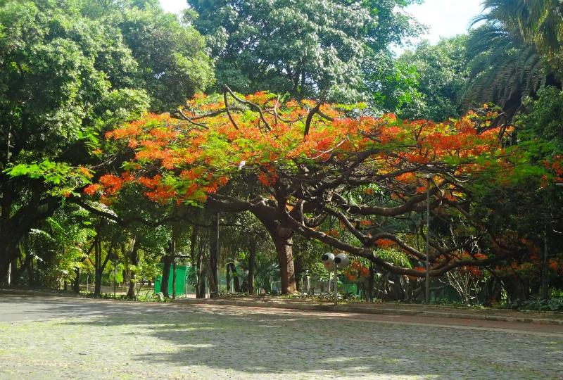Parque Municipal Américo Renné Giannetti em Belo Horizonte: Árvores centenárias